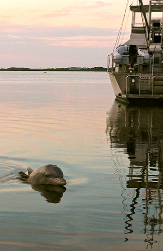 the dolphins of amelia island florida tourism