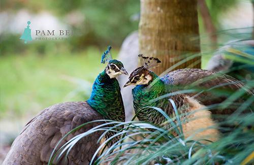 peafowls of amelia island florida