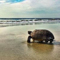 sea turtles of amelia island florida
