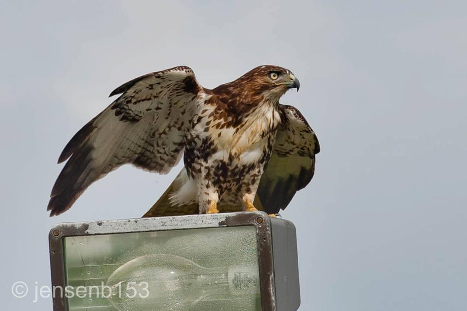 birds of amelia island red tailed hawk