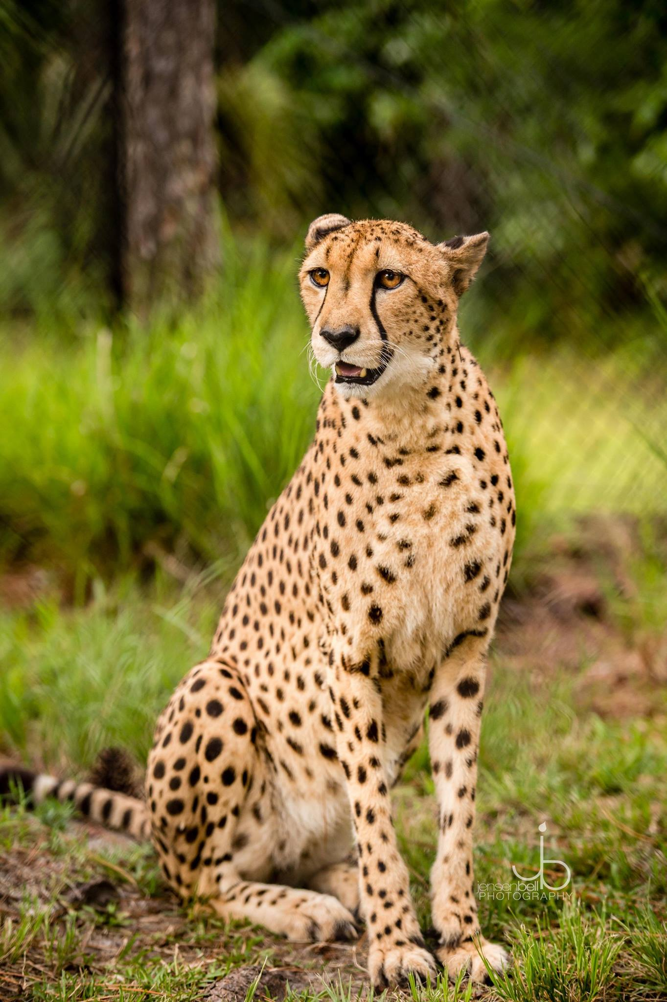 white oak conservation cheetah